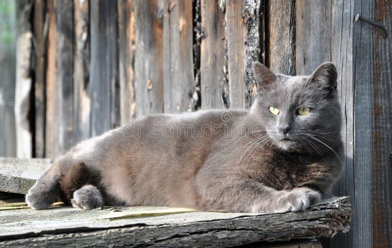 Schöne graue Katze, die auf Hintergrundbretterzaun liegt lizenzfreie stockfotos