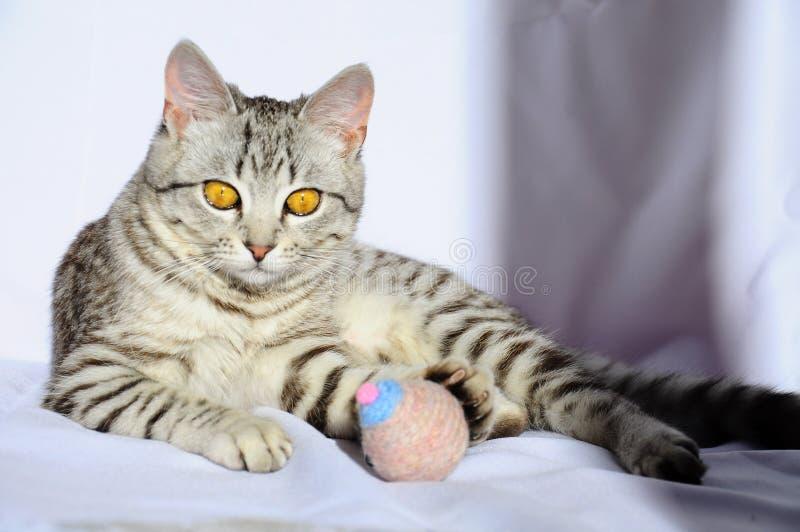 Schöne graue Katze mit den großen Augen, die auf dem Boden liegen stockfotos