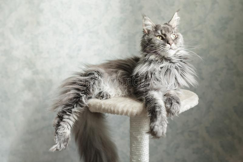 Schöne graue Maine Coon-Katze, die auf einem Stand liegt stockfotos