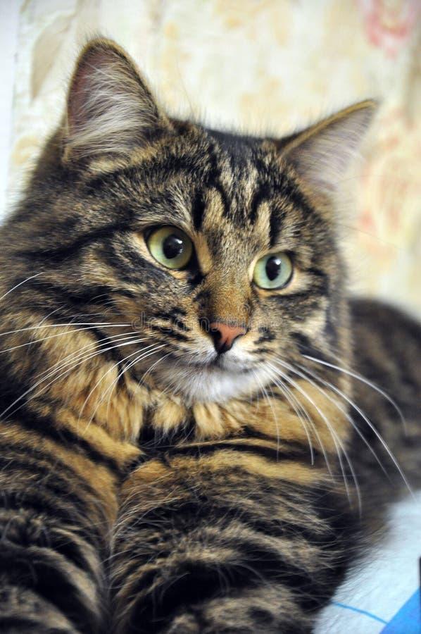 Schöne große graue gestreifte Katze stockfotos