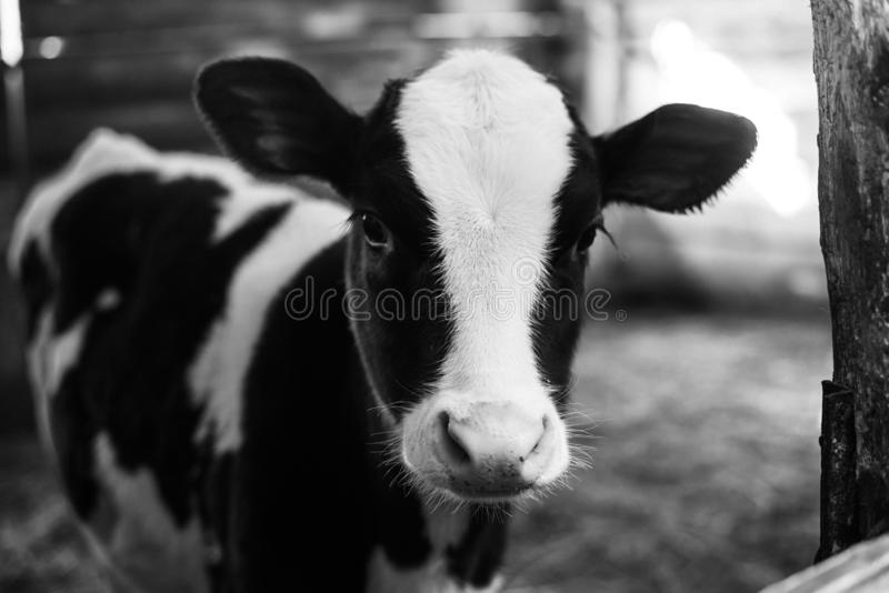 Sch?ne gro?e Kuh auf dem Bauernhof unter vielem Heu Schwarzweiss-Foto Pekings, China stockfotografie
