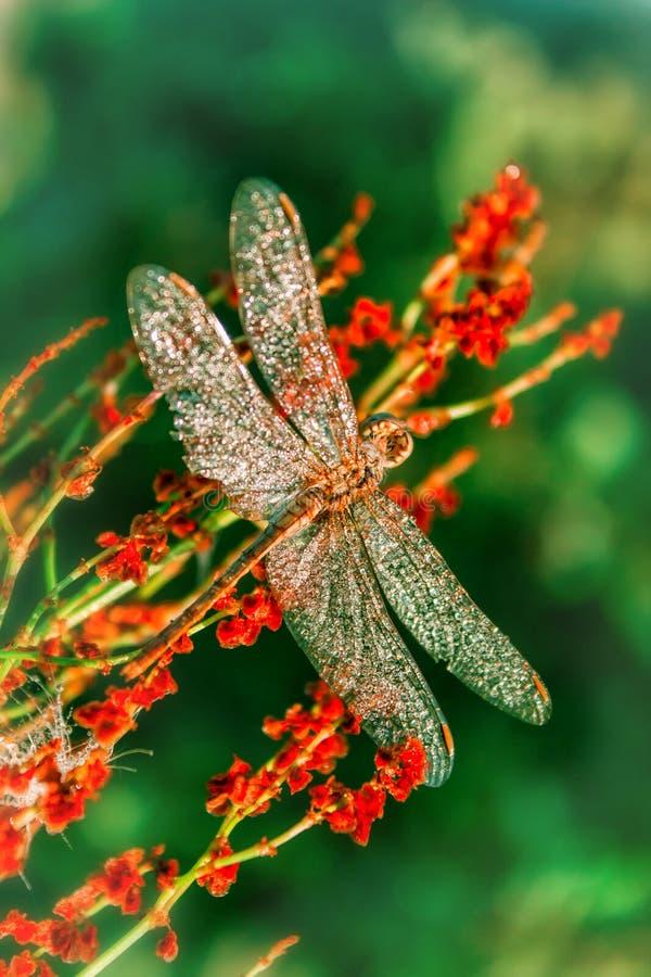 Schöne große Libelle mit den Tropfen des Morgentaus sitzend auf einer Blume abtönen lizenzfreie stockbilder