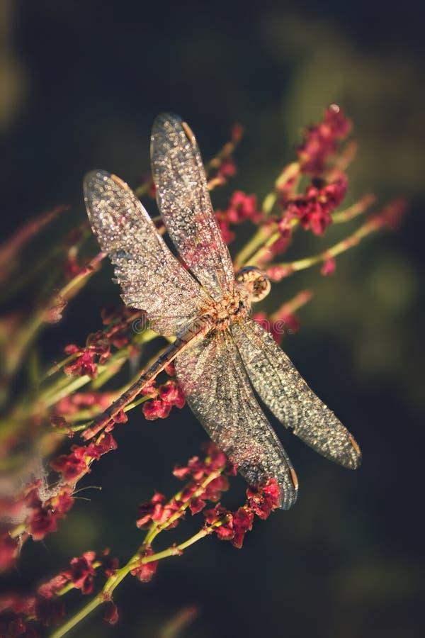 Schöne große Libelle mit den Tropfen des Morgentaus sitzend auf einer Blume abtönen lizenzfreie stockfotografie