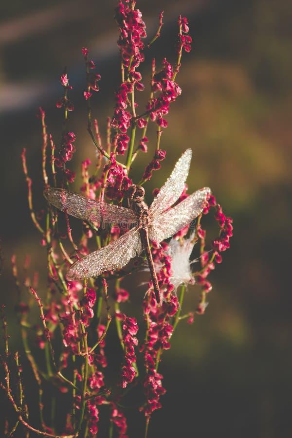 Schöne große Libelle mit den Tropfen des Morgentaus sitzend auf einer Blume mattes Abtönen stockfotos