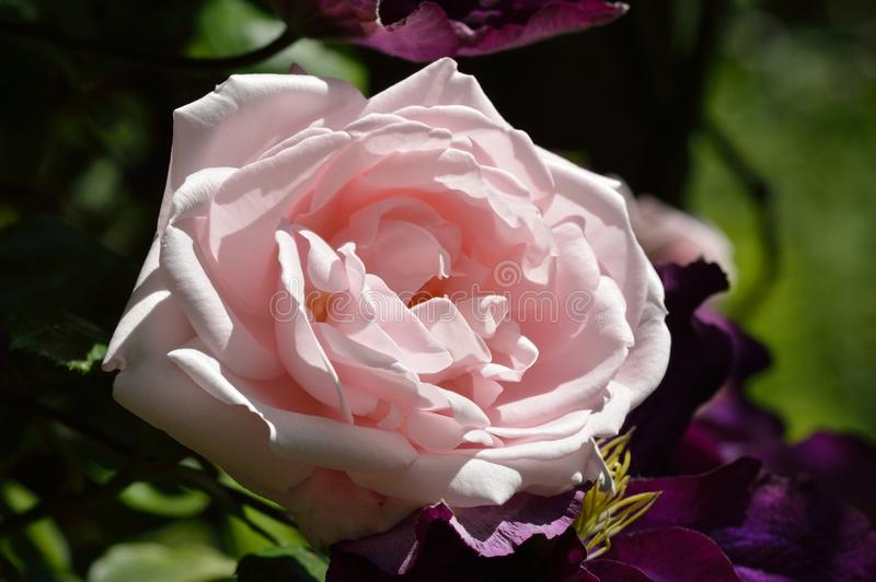 Schöne große Rosarose stockfotos