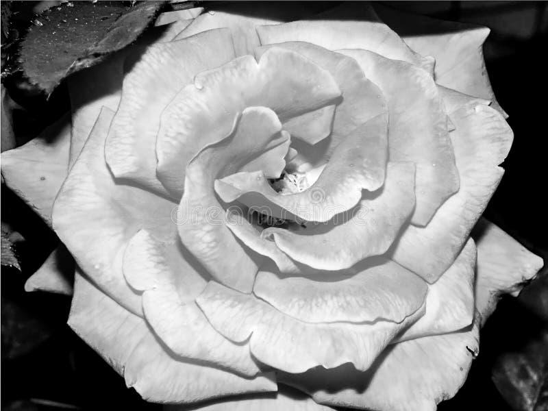 Schöne große Rosarose blühte stockfoto