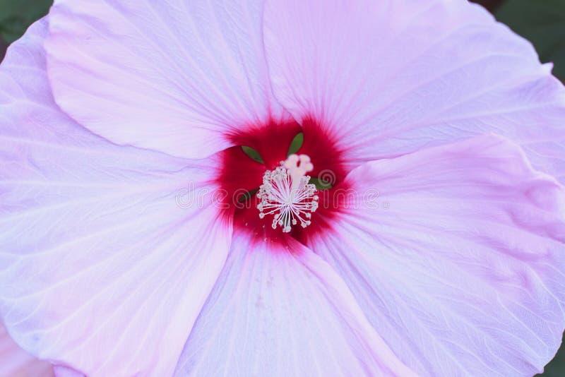 Schöne große zarte rosa Blume im Garten stockfotografie