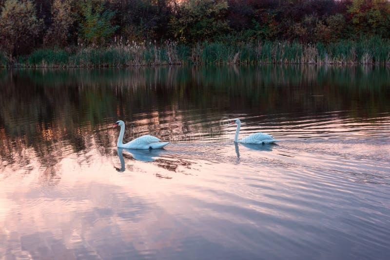 Schöne Höckerschwäne im See im Sonnenunterganglicht, Naturlandschaft stockfotos