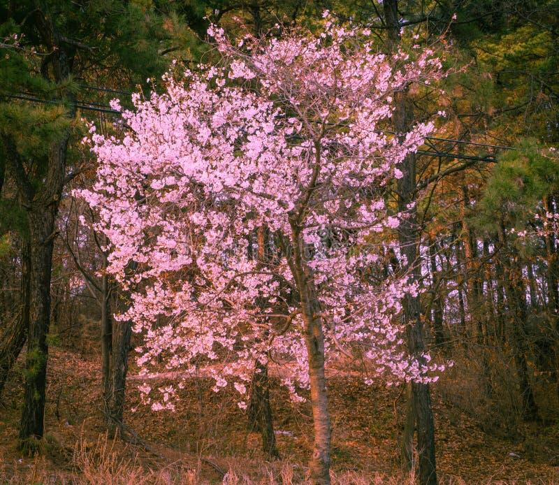 Schöne Hartriegelblumen im Vorfrühling lizenzfreies stockfoto