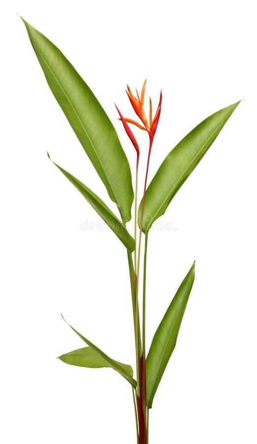 Download Schöne Heliconia Blume, Die In Der Klaren Farbe Blüht Stockbild - Bild von blume, asiatisch: 26351611