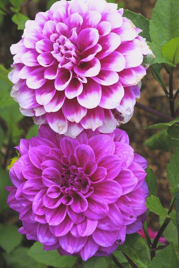 Schöne helle Asterblume stockbilder