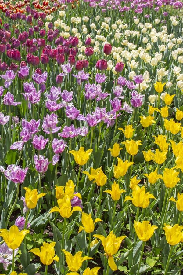 Schöne helle Frühlingsgartentulpen Mehrfarbiges Blumenblumenbeet mit Tulpen Plantagenvariationstulpen von verschiedenen Farben stockfotografie