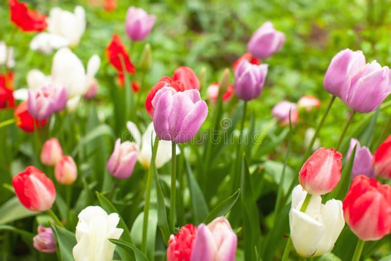 Schöne helle mehrfarbige Tulpen im Blumenbeet im Park oder im Garten nach Regen Regentröpfchen glitzern auf Blumen Nette Tapete stockbild