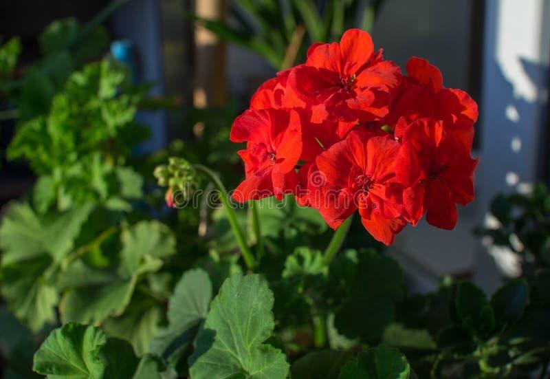 Schöne helle rote Blumen der blühenden Pelargonie stockfotografie