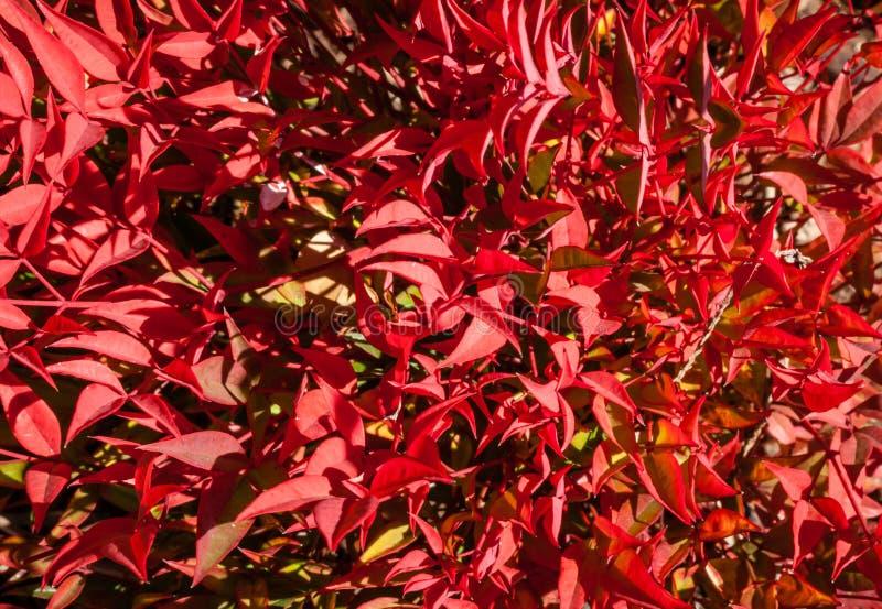 Schöne helle rote Winter-Blätter des Zwergs Nandina Cultivar stockfotografie