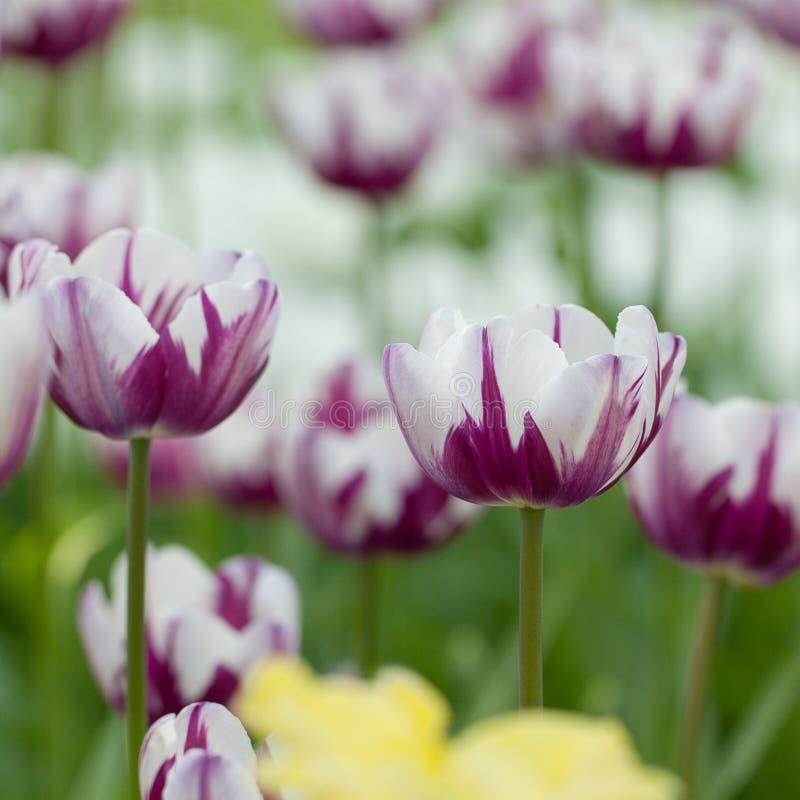 Schöne helle weiße und lila bunte Tulpen im Park stockbilder