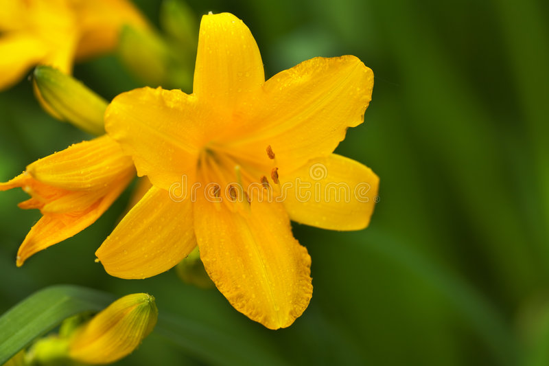 Schöne Hemerocallisblume lizenzfreie stockfotos