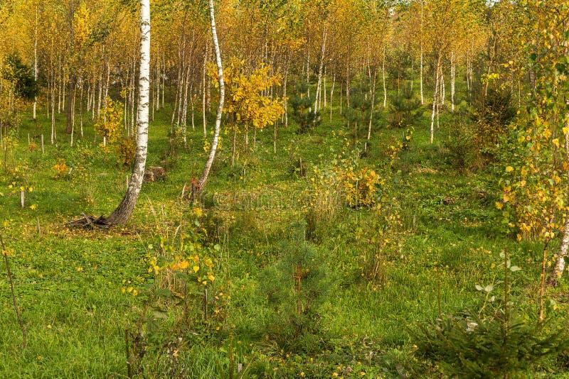 Schöne Herbstbirkenwaldung im Oktober stockbild