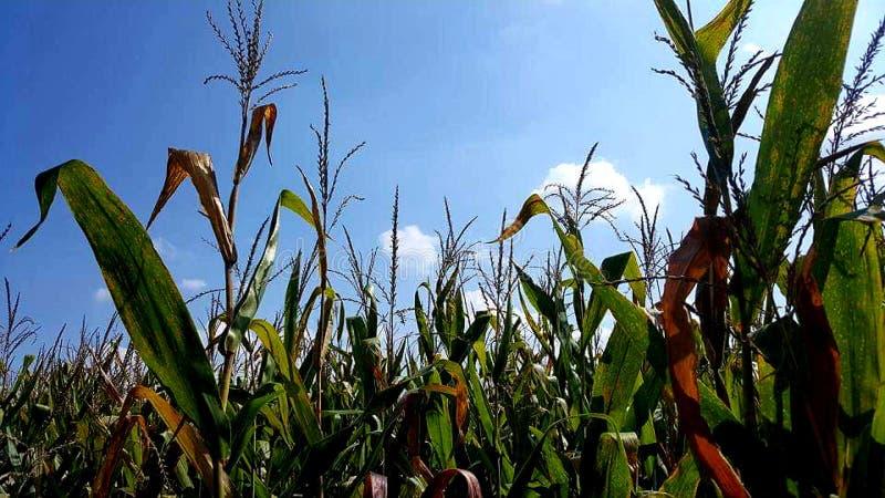 Schöne Himmel nahmen in einem Getreidefeld in Oakville Indiana gefangen stockfoto