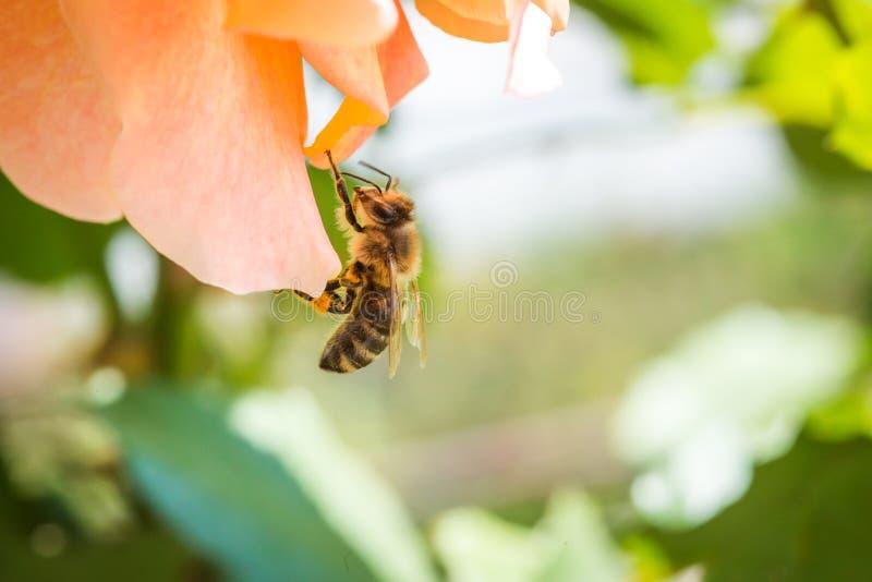 Schöne Honigbiene, die morgens Nektar von der rosafarbenen Blume mit den Knospen auf grünem Sonnenabschluß des Blatthintergrundes lizenzfreie stockbilder