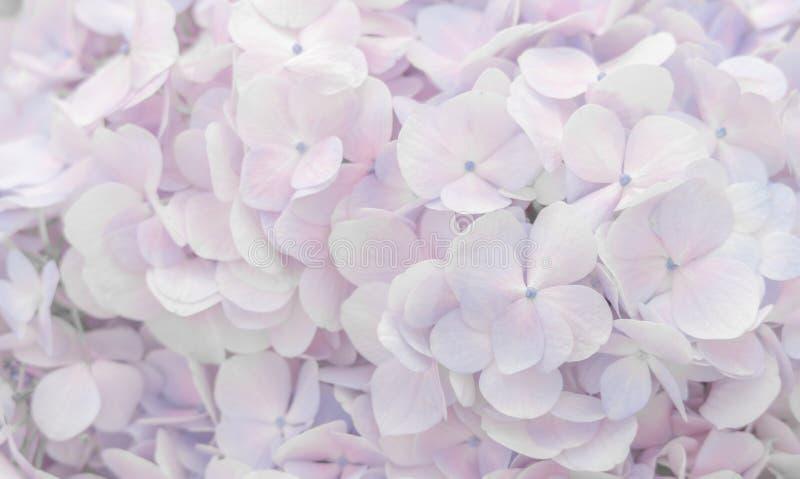 Schöne Hortensien blüht in der weich rosa und purpurroten Farbe stockfotografie