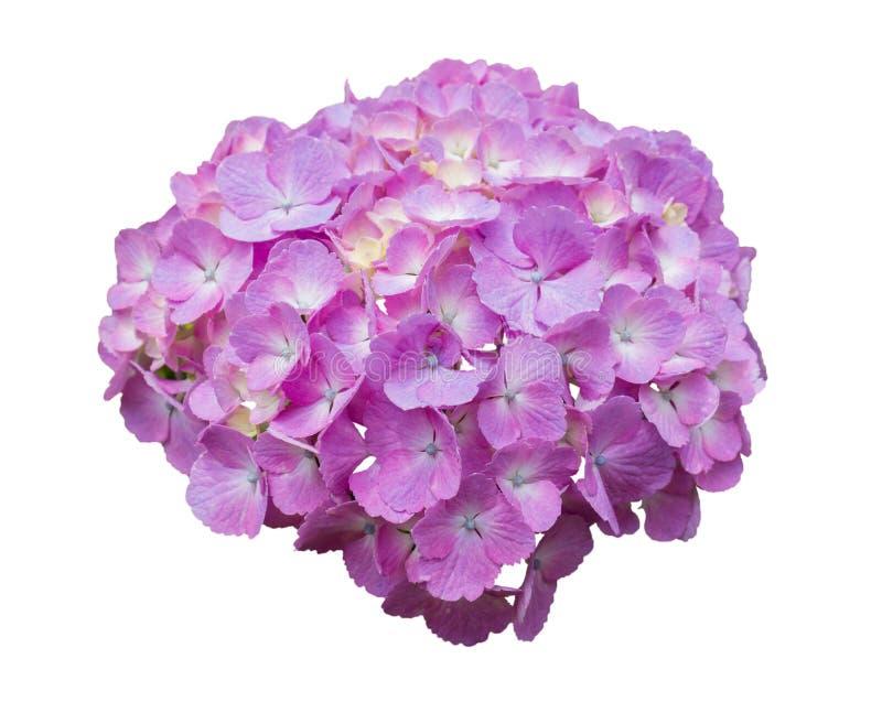 Schöne Hortensiepurpurblumen stockbild