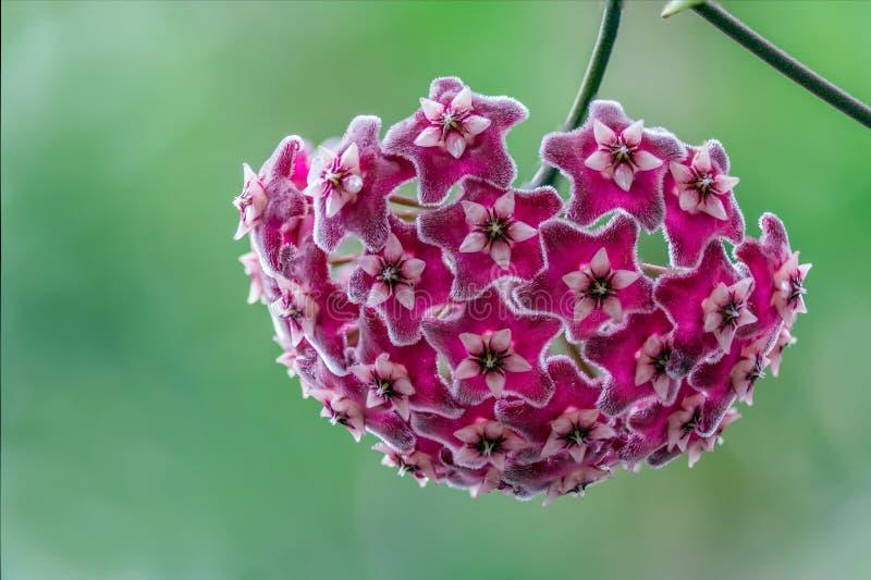 Schöne Hoya-Blumen stockbild