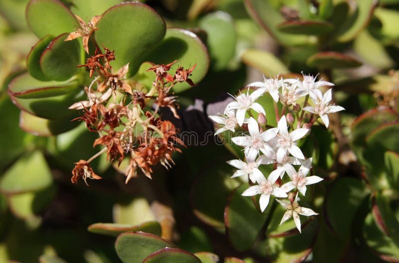 Schöne Jadebetriebsblumen lizenzfreies stockbild
