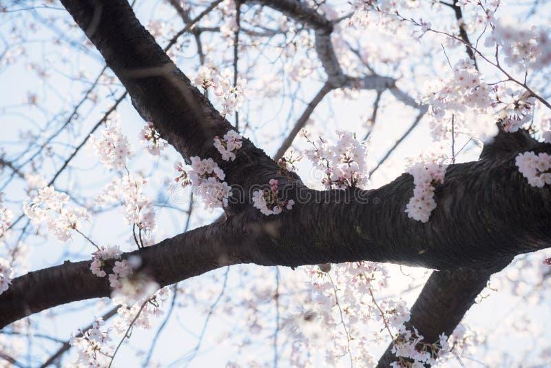 Schöne japanische Sakura Cherry-Blütenbäume während des Frühlinges in Tokyo stockfotos