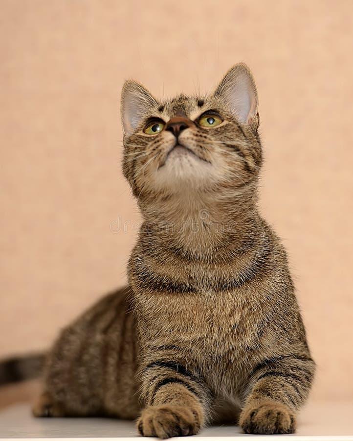Schöne junge Katze der getigerten Katze lizenzfreie stockbilder