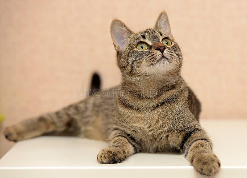 Schöne junge Katze der getigerten Katze lizenzfreies stockfoto
