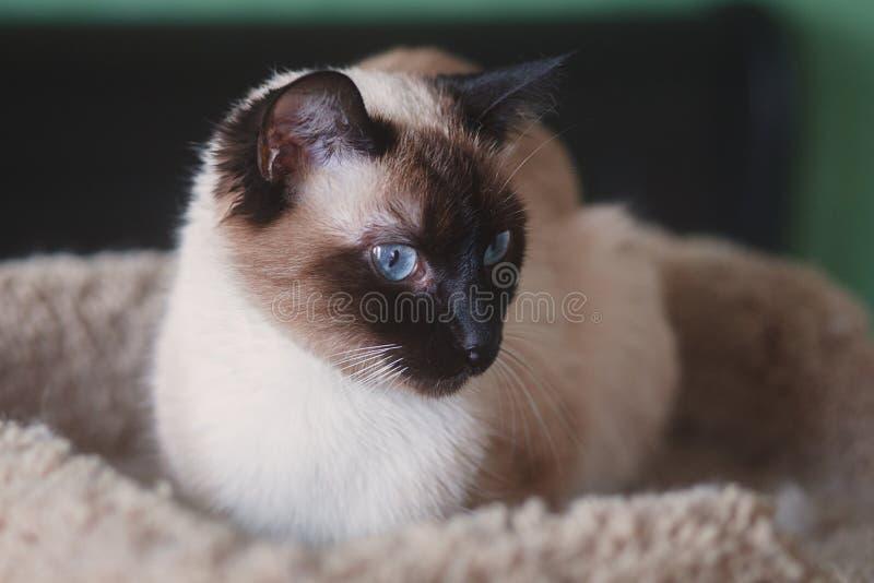 Schöne, junge siamesische weibliche Katze, faulenzend auf Haustier-Bett lizenzfreies stockbild