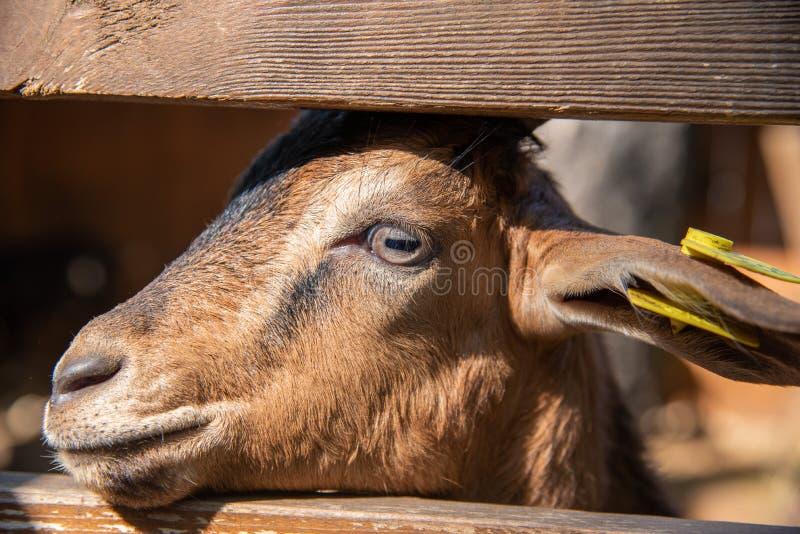 Schöne junge Ziege, die aus dem Zaun heraus dem Bauernhof betrachtet lizenzfreies stockfoto