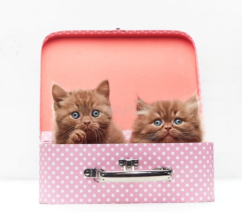 Schöne Kätzchen im Koffer stockfoto