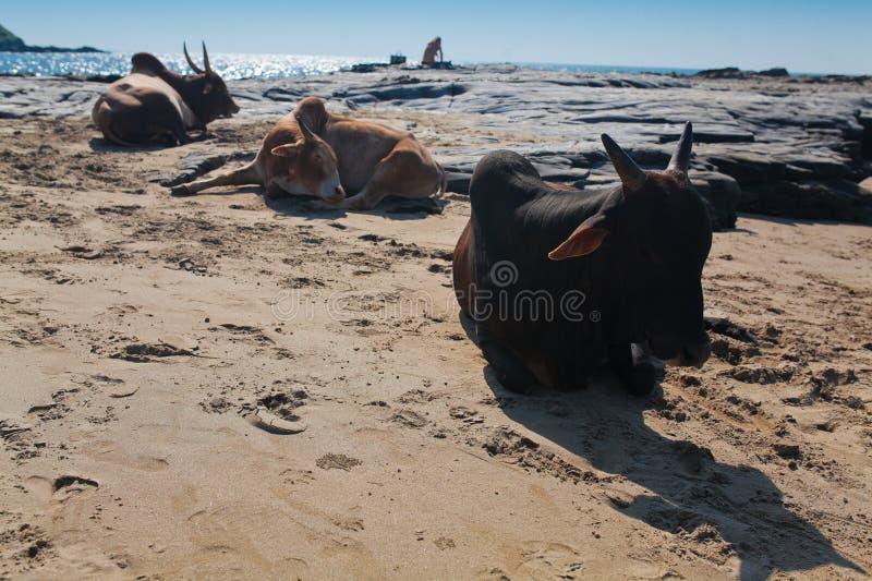 Schöne Kühe auf Vagator-Strand lizenzfreie stockfotografie