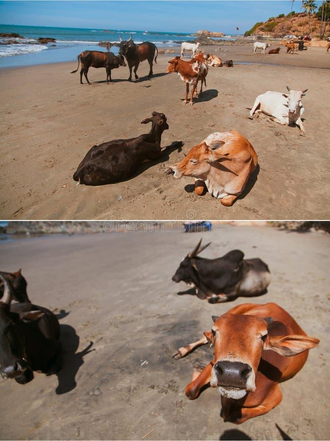Schöne Kühe auf Vagator-Strand lizenzfreies stockbild