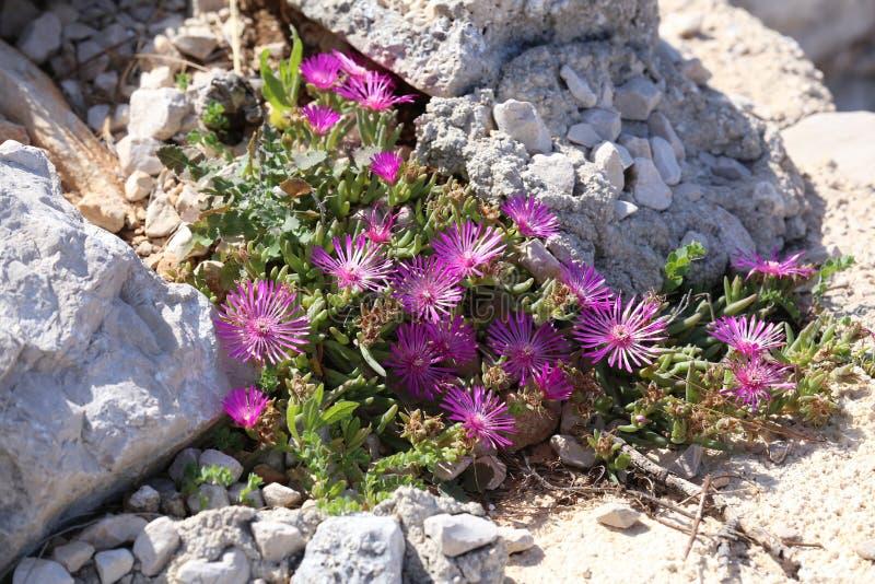 Schöne Kaktuspflanze der Klasse Delosperma-Blüte stockfotos