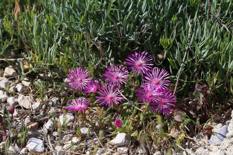 Schöne Kaktuspflanze der Klasse Delosperma-Blüte lizenzfreie stockfotos