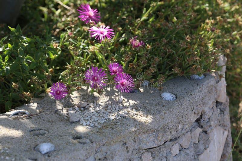 Schöne Kaktuspflanze der Klasse Delosperma-Blüte lizenzfreie stockfotografie