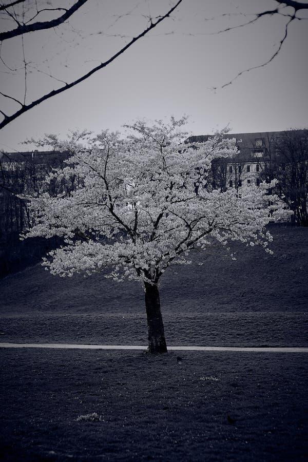 Schöne Kirschblüte Kirschblüte im englischen Garten in München lizenzfreie stockbilder