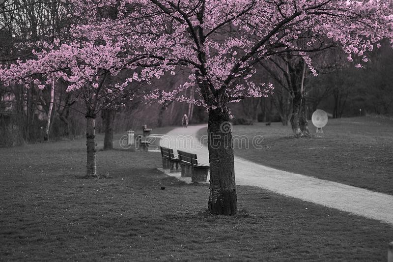 Schöne Kirschblüte Kirschblüte im englischen Garten in München stockbilder