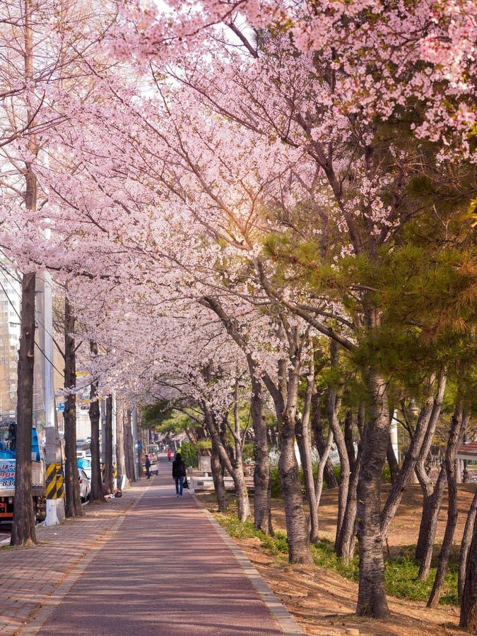 Schöne Kirschblüte Kirschblüte im Frühjahr lizenzfreie stockbilder