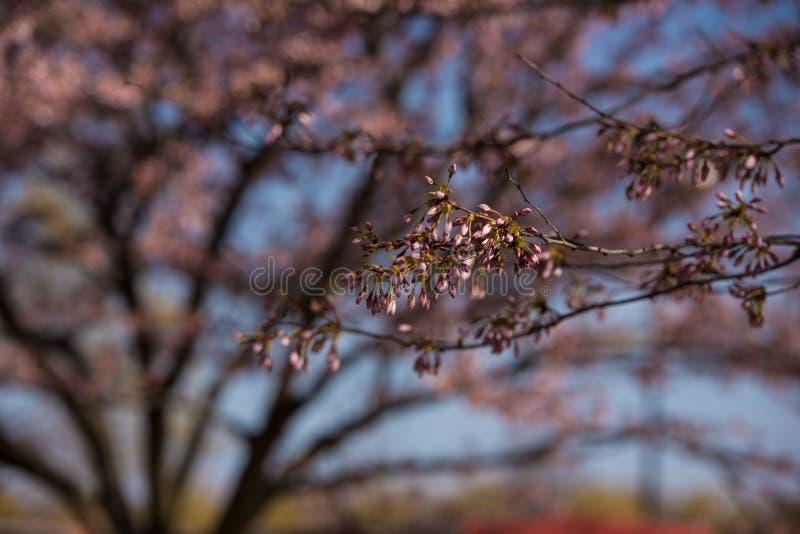 Schöne Kirschblüte in Kanada stockfoto
