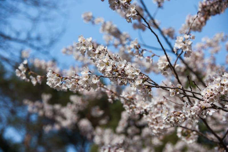 Schöne Kirschblüte in Kanada lizenzfreie stockfotos