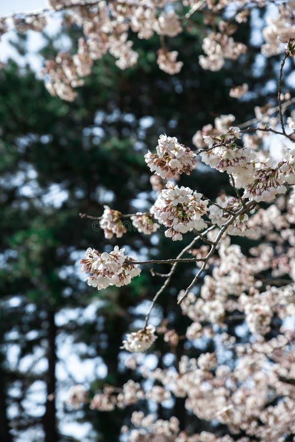 Schöne Kirschblüte in Kanada lizenzfreies stockfoto