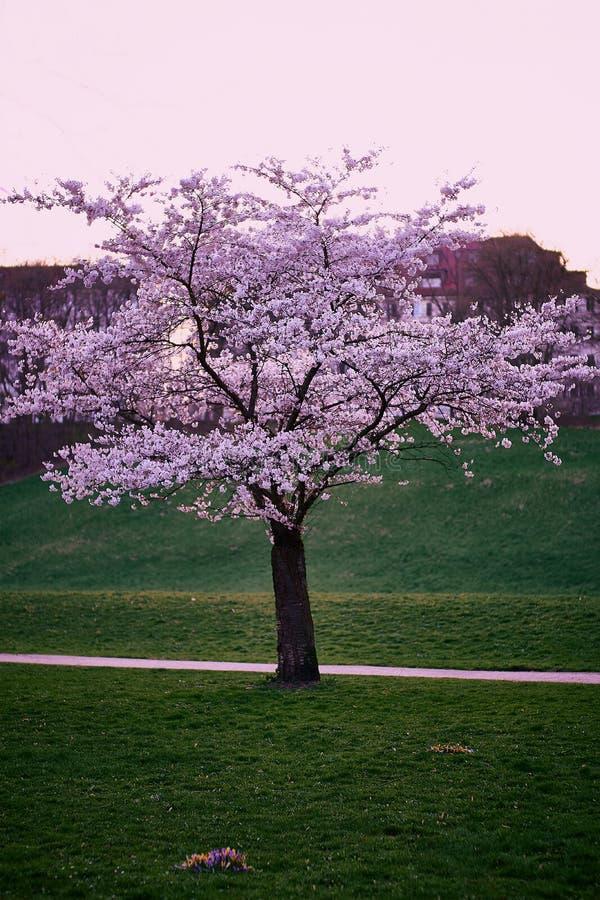 Schöne Kirschblüte Kirschblüte in München lizenzfreies stockbild