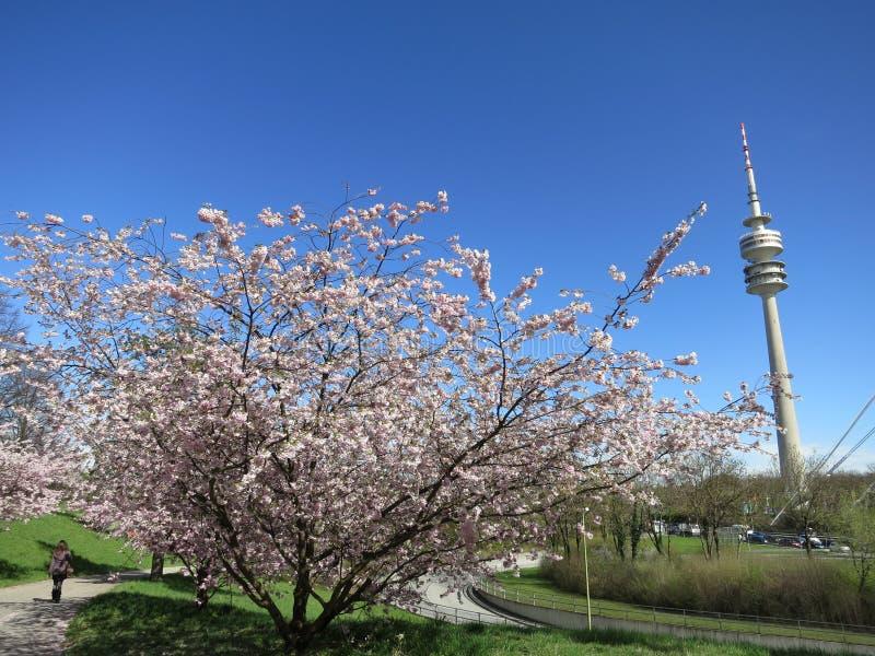 Download Schöne Kirschblüte Münchens Im Olympischen Park Stockfoto - Bild von münchen, deutschland: 26371200