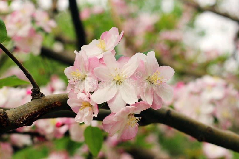 Schöne Kirschblüte, Zeit Kirschblütes im Frühjahr Bild stockbilder