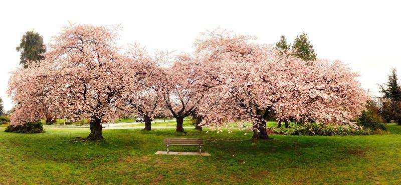 Schöne Kirschblüten in der Königin Elizabeth Park lizenzfreie stockfotografie