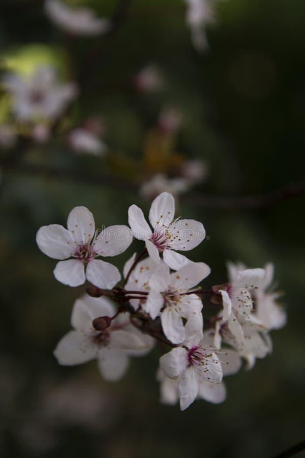 Schöne Kirsche-blossomflowers setzen im Frühjahr Zeit fest Dunkler Hintergrund Wiese voll des gelben Löwenzahns stockfoto